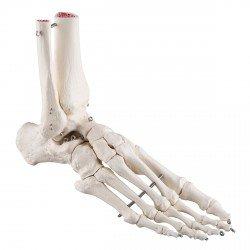 Scheletro del piede con parte della tibia e del perone, su filo metallico
